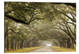Alu-Dibond  Foggy alley under a canopy of oak trees - Joanne Wells