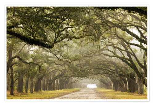 Premium poster Foggy alley under a canopy of oak trees