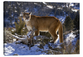 Canvas print  Puma in snowy mountains - Joe & Mary Ann McDonald