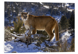 Foam board print  Puma in snowy mountains - Joe & Mary Ann McDonald