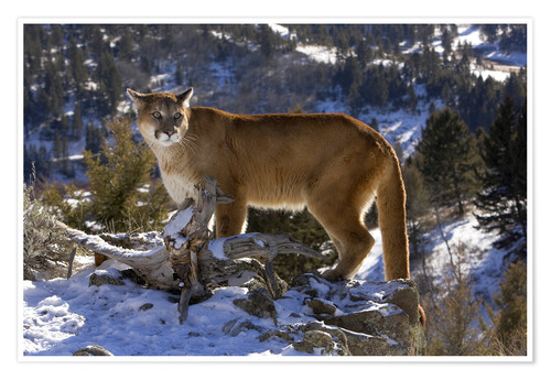 Premium poster Puma in snowy mountains