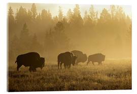 Acrylic print  Bisons in the golden light - Patrick J. Wall