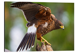 Alu-Dibond  Harris hawk with outstretched wings - Larry Ditto