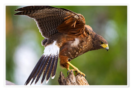 Premium poster Desert buzzard with wide wings