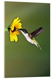 Acrylic glass  Ruby-throated Hummingbird at sunflower - Larry Ditto