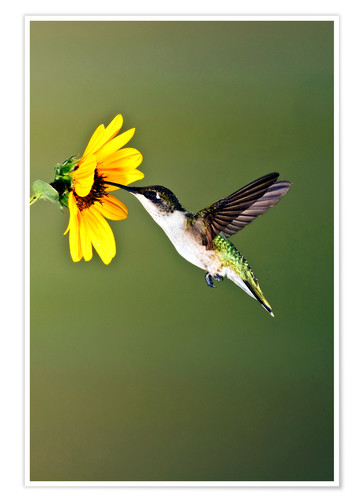 Premium poster Ruby-throated Hummingbird at sunflower