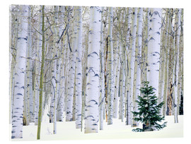 Acrylic print  Poplar forest and pine in the snow - Scott T. Smith