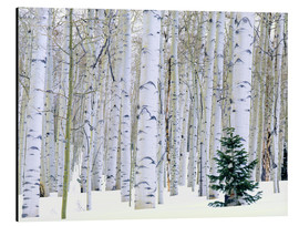 Aluminium print  Poplar forest and pine in the snow - Scott T. Smith