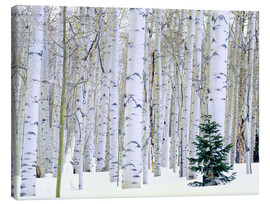 Canvas print  Poplar forest and pine in the snow - Scott T. Smith