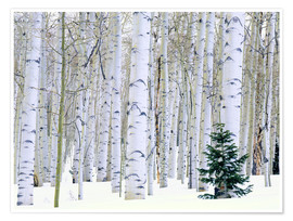 Premium poster Poplar forest and pine in the snow