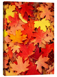 Canvas print  Colorful maple leaves - Scott T. Smith