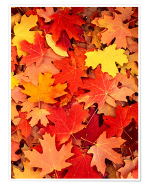Premium poster Colorful maple leaves