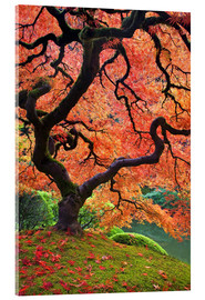 Acrylic print  Japanese maple in autumn - Don Paulson
