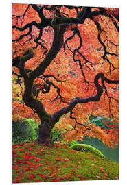 Forex  Japanese Maple tree in autumn colors - Don Paulson