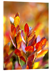 Acrylic print  Red bilberry leaves - Ric Ergenbright