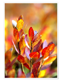 Premium poster Bilberry leaves in various shades of red