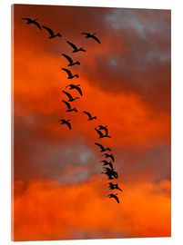 Cathy & Gordon Illg - Snow geese flying into the sunset