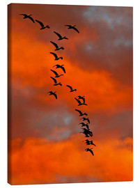 Canvas print  Snow geese in the sunset - Cathy & Gordon Illg