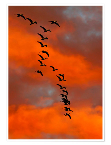 Premium poster Snow geese flying into the sunset