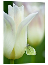 Acrylic print  Butterfly on a white tulip - Nancy Rotenberg