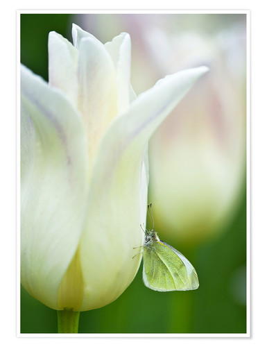 Premium poster Butterfly on a white tulip