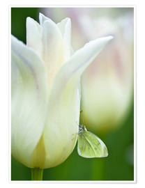 Poster  Close-up of sulphur butterfly on white tulip - Nancy Rotenberg