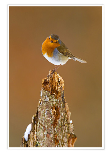Premium poster Robin on tree stump in winter