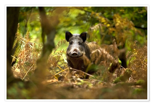 Premium poster Boar in the deciduous forest