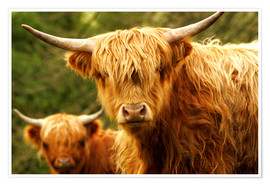 Premium poster  Highland Cattle in Yorkshire - Jay Sturdevant