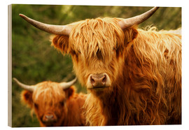 Wood print  Highland Cattle in Yorkshire - Jay Sturdevant