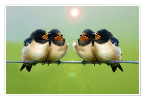 Premium poster Barn swallows on a wire