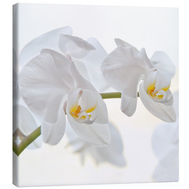 Canvas  White Orchid - Heidi Bollich