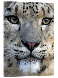 Acrylic print  snow leopard - Wolfgang Dufner