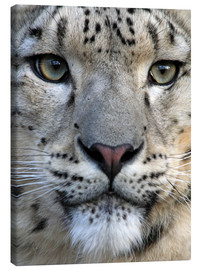 Canvas print  snow leopard - Wolfgang Dufner
