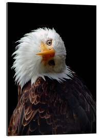 Acrylic print  eagle - Wolfgang Dufner