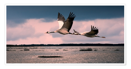 Premium poster Sweden - cranes at Lake Hornborga