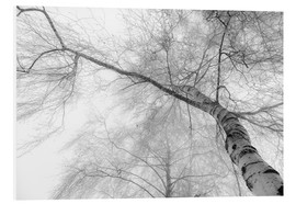 Foam board print  Birch in the fog - Hannes Cmarits