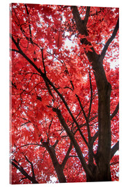 Acrylic print  Japanese maple - Hannes Cmarits