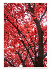 Poster Japanese maple