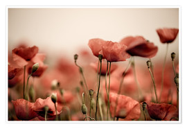 Premium poster Red poppy flowers 05