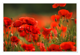Poster Red Poppy Flowers 14