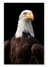 Premium poster  Bald Eagle - Jan Schuler