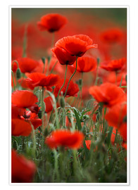 Premium poster Poppy Meadow