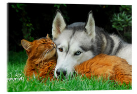 Acrylic print  Somali cat and Siberian Husky cuddle up together - Katho Menden