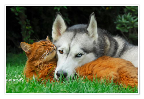Premium poster Somali cat and Siberian Husky cuddle up together