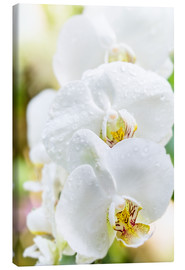 Canvas print  White Orchid - Suzka