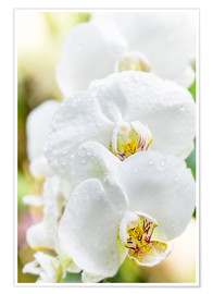 Poster  White Orchid - Suzka