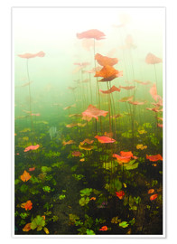 Premium poster Lily pads underwater