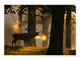 Premium poster Roaring red deer in the forest