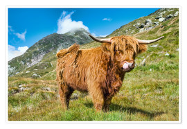 Premium poster  Scottish Highland Cattle - Olaf Protze